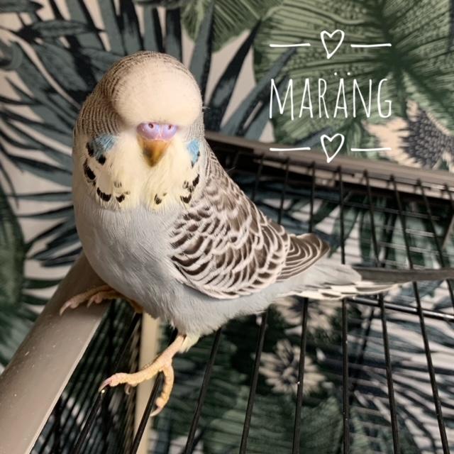 Maräng